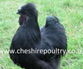 Click to open our Black Silkie gallery