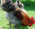 Click to open our Copper Blue Marans gallery
