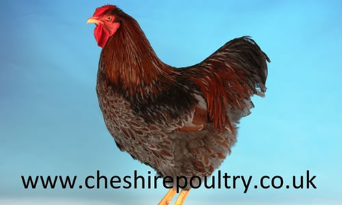 Cheshire Poultry – Exhibition Poultry Breeders
