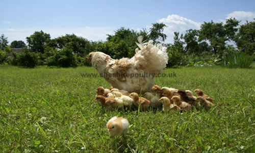Cheshire Poultry Articles - Rearing Chicks - General Care & Advice