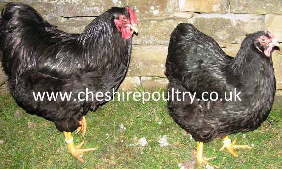 BLACK WYANDOTTE (PURE) LARGE FOWL [3]