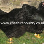 BLACK WYANDOTTE (PURE) LARGE FOWL [4]