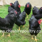 BLACK WYANDOTTE (PURE) LARGE FOWL