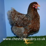 BLUE LACED WYANDOTTE (LARGE FOWL) [2]