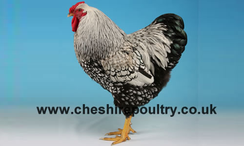 Cheshire Poultry Breeds