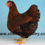 GOLD LACED WYANDOTTE (LARGE FOWL)