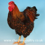 GOLD LACED WYANDOTTE (LARGE FOWL) [2]