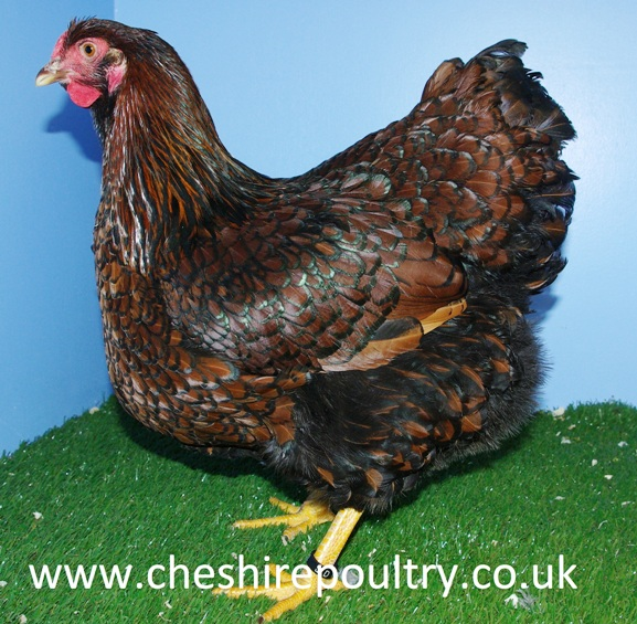 GOLD LACED WYANDOTTE (LARGE FOWL) [3]