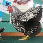 SILVER LACED WYANDOTTE (LARGE FOWL) [2]