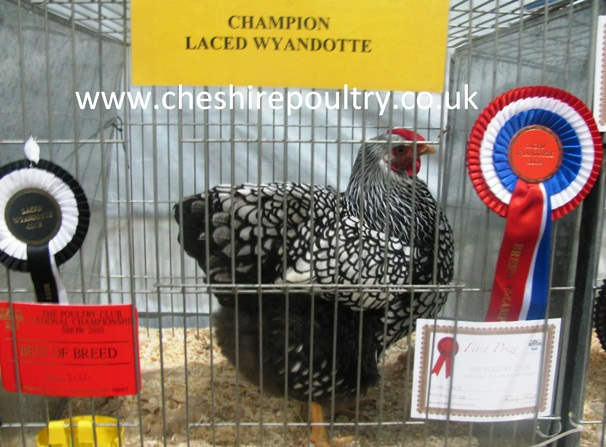 SILVER LACED WYANDOTTE (LARGE FOWL) [3]