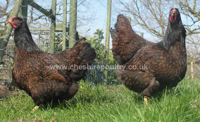 Double Laced Barnevelder (Large Fowl) [2]