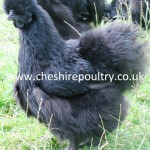 Black Silkie (Large Fowl) [2]