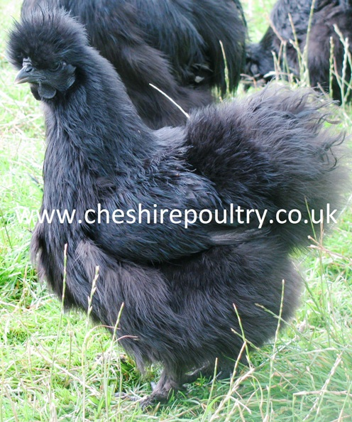 Black Silkie (Large Fowl) [2]