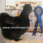 Black Silkie (Large Fowl) [4]