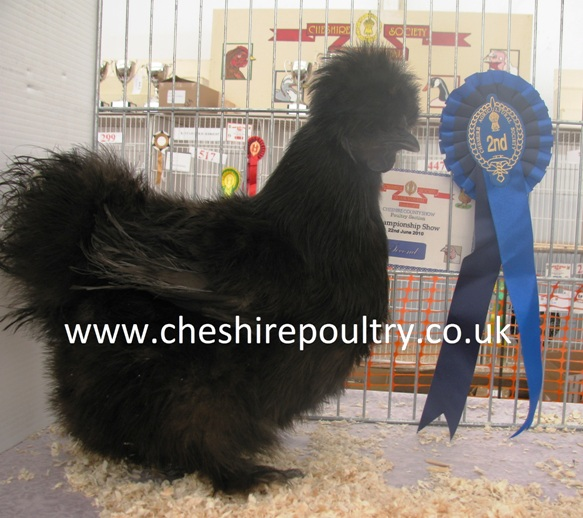 Black Silkie (Large Fowl) [4]