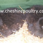 Black Silkie (Large Fowl) [5]