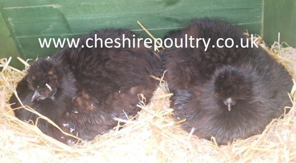 Black Silkie (Large Fowl) [5]