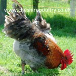 French Copper Blue Maran (Large Fowl) [4]