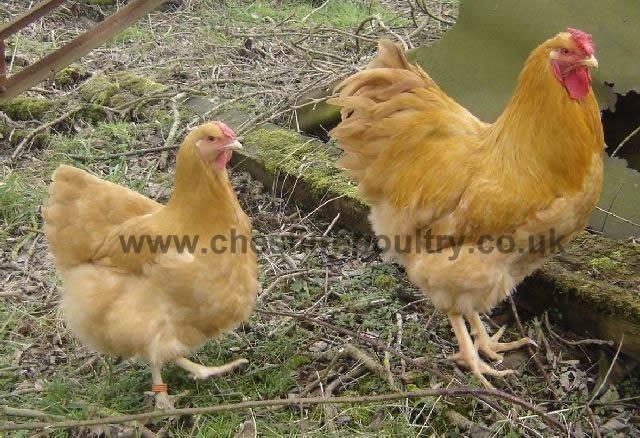 Buff Wyandotte (Pure) Large Fowl