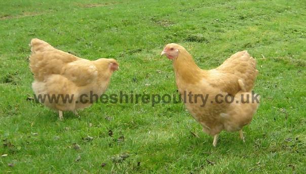 Buff Wyandotte (Pure) Large Fowl [2]