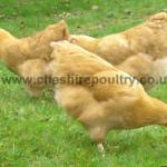 Buff Wyandotte (Pure) Large Fowl [3]