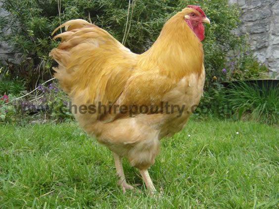 Buff Wyandotte (Pure) Large Fowl [5]