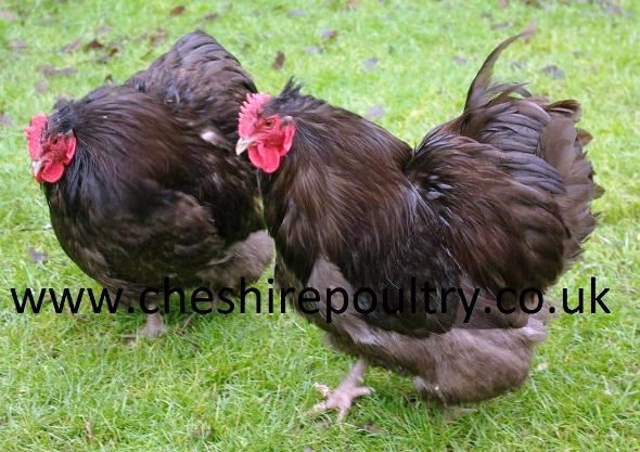 Chocolate Orpington (Pure) Bantam Fowl [2]