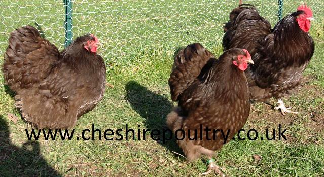 Chocolate Orpington (Pure) Bantam Fowl [4]