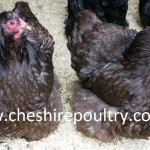 Chocolate Orpington (Pure) Bantam Fowl [5]