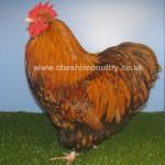 Gold Laced Orpington (Pure) Bantam Fowl