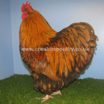 Gold Laced Orpington (Pure) Bantam Fowl [2]
