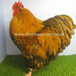 Gold Laced Orpington (Pure) Bantam Fowl [3]