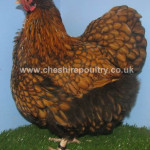 Gold Laced Orpington (Pure) Bantam Fowl [4]