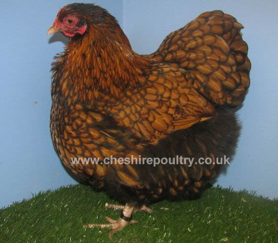Gold Laced Orpington (Pure) Bantam Fowl [5]