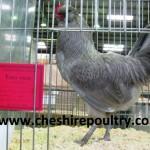 Lavender Araucana (Large Fowl) [3]