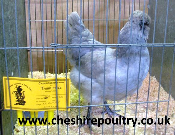 Lavender Araucana (Large Fowl) [5]