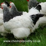 Light Sussex Chickens (Large Fowl) [4]