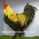 French Silver Black Marans (Large Fowl)