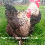 French Silver Black Marans (Large Fowl) [2]