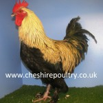 French Silver Black Marans (Large Fowl) [3]
