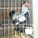 Silver Pencilled Wyandotte (Large Fowl) [4]