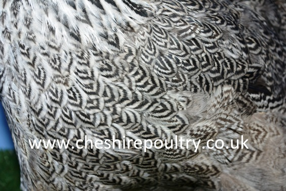 Silver Pencilled Wyandotte (Large Fowl) [5]