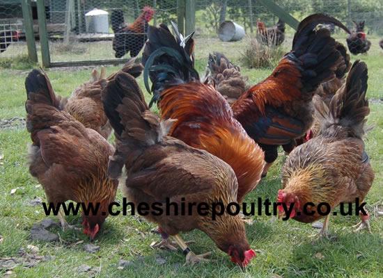 Welsummer Chickens [4]