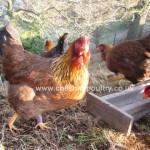 Welsummer Chickens [5]