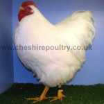 White Wyandotte (Pure) Large Fowl [2]
