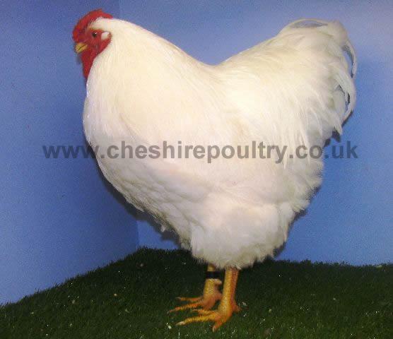 White Wyandotte (Pure) Large Fowl [3]