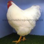 White Wyandotte (Pure) Large Fowl [4]